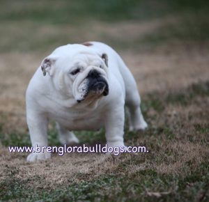"""Babe"" female English Bulldog"